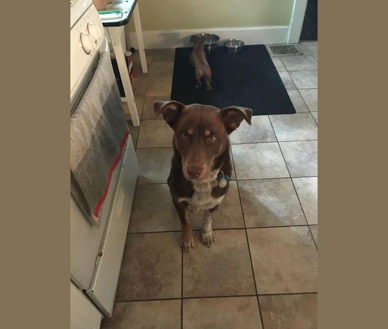 Photo of Finn, a Siberian Husky, Labrador Retriever, Australian Cattle Dog, and Chow Chow mix in San Antonio, Texas, USA
