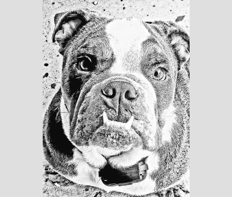 Photo of Soldado, a Bulldog  in Mexico City, Mexico