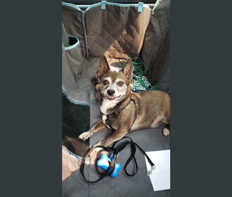 Photo of Boo, a Chihuahua, Pomeranian, Miniature Pinscher, and Mixed mix in Caldwell, Idaho, USA