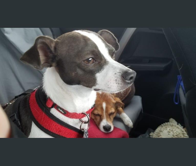 Photo of RAMI MALEK FREDDIE MERCURY, a Chihuahua, Miniature Pinscher, and Mixed mix in Kentucky, USA