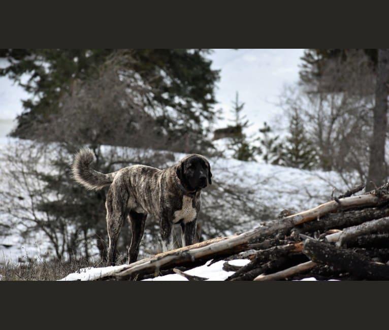 Photo of Sauron, an Anatolian Shepherd Dog