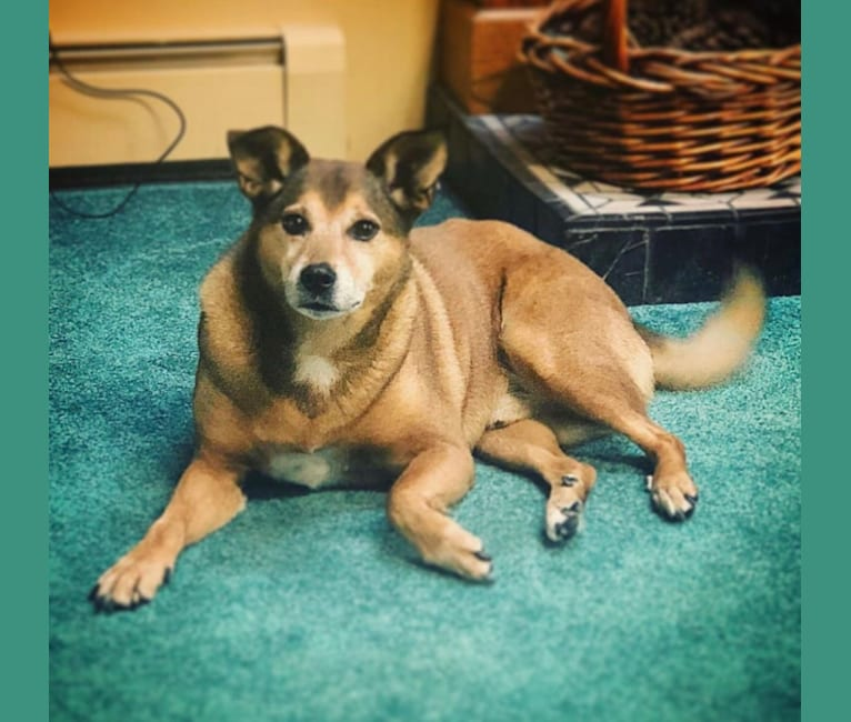 Photo of Kurtis, a Rat Terrier, Chow Chow, and Mixed mix in New York, USA