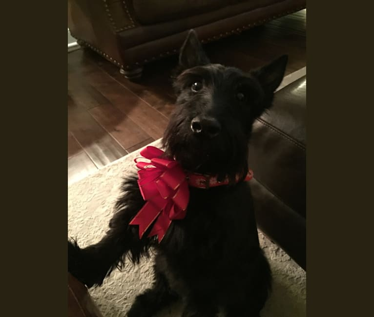 Photo of Jake, a Scottish Terrier  in Indiana, USA