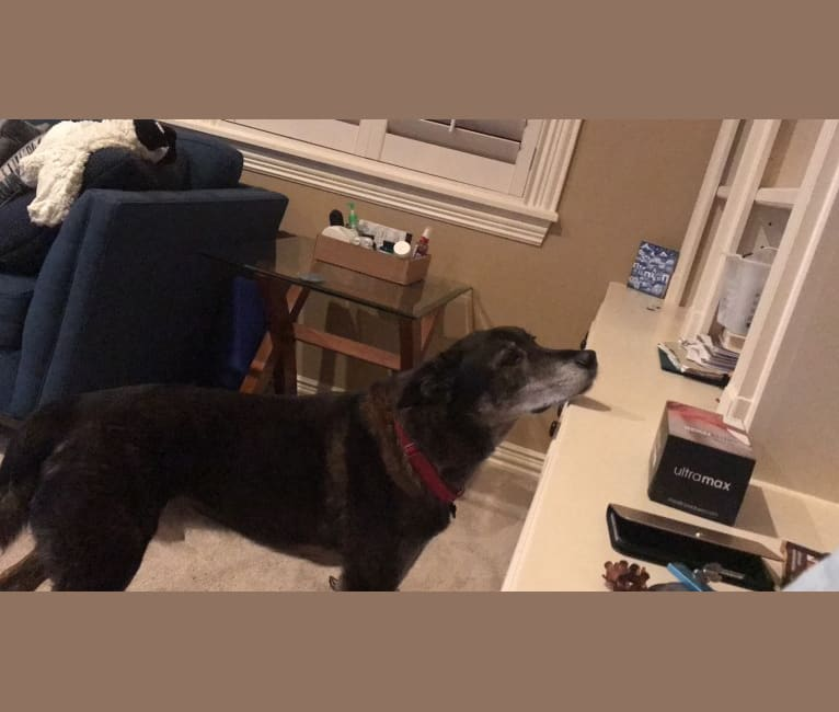 Photo of Luka, a Labrador Retriever, Siberian Husky, Rottweiler, and Mixed mix in Houston, Texas, USA