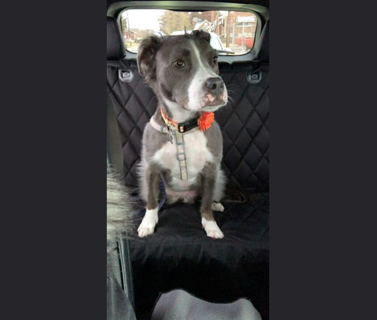 Photo of Romey, an American Pit Bull Terrier and American Staffordshire Terrier mix