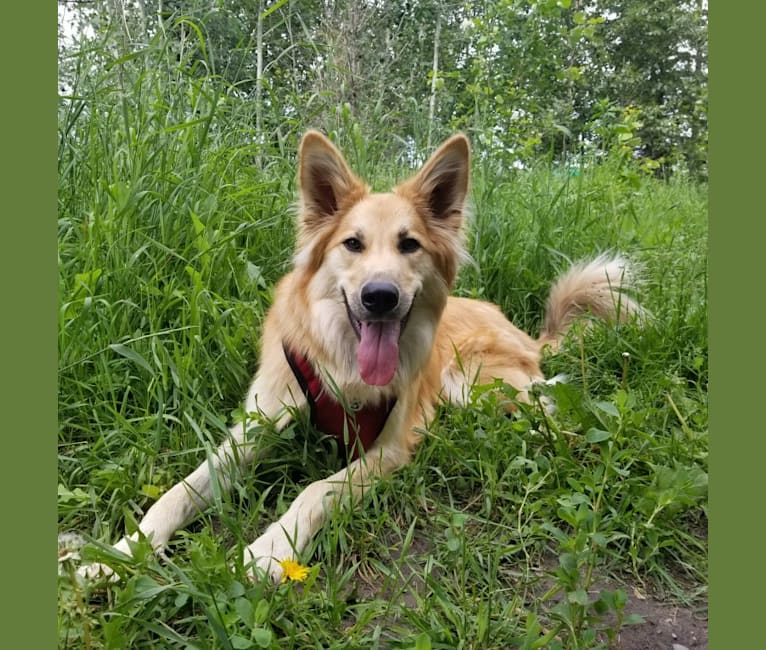Photo of Tilly, a German Shepherd Dog, Saint Bernard, Labrador Retriever, and Alaskan Malamute mix in Norway House, Manitoba, Canada