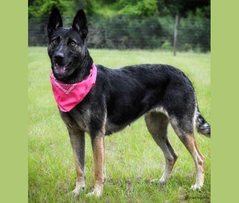 Photo of Myla, a German Shepherd Dog and Border Collie mix in Summerfield, Florida, USA