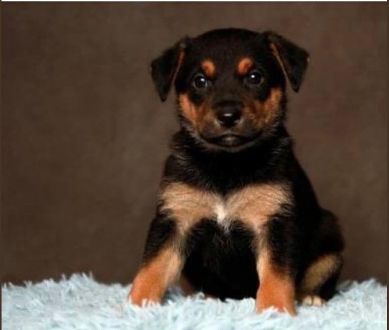 Photo of Goose, a German Shepherd Dog and Boxer mix in Salt Lake City, Utah, USA