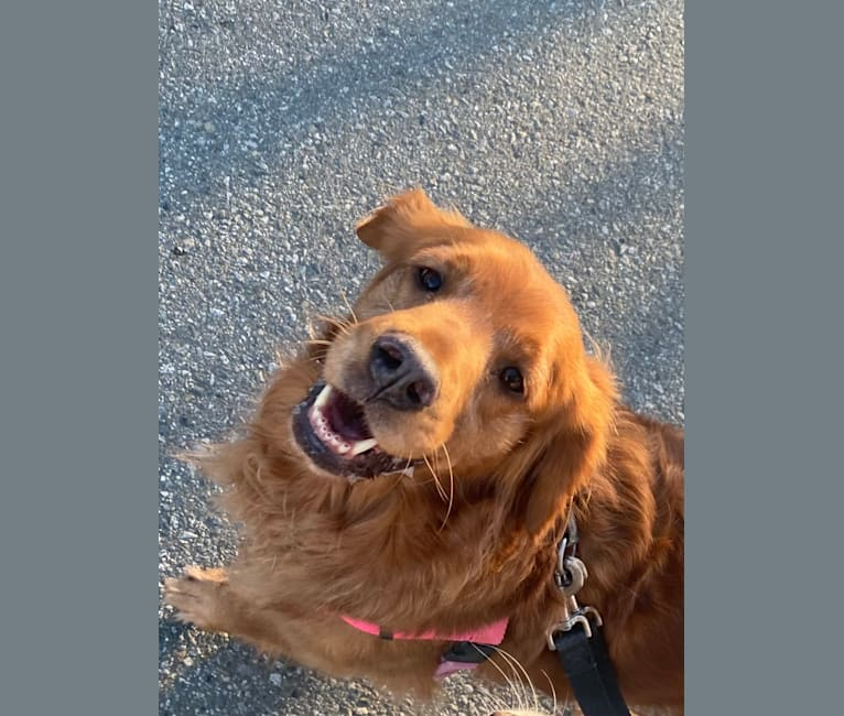 Photo of Gracie, a Golden Retriever  in Vancouver, British Columbia, Canada