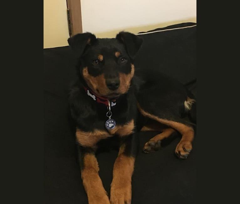 Photo of Voss, a Rottweiler and Australian Kelpie mix in Mornington, Victoria, Australia