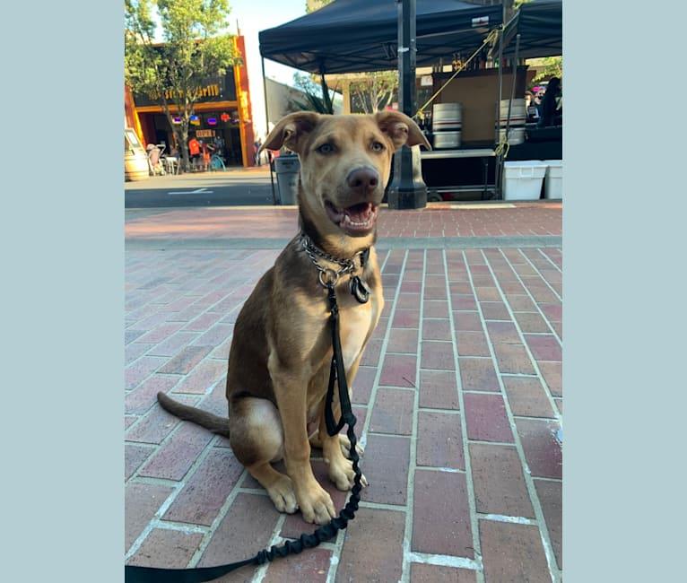 Photo of Conan, a German Shepherd Dog, American Pit Bull Terrier, and American Bulldog mix in California, USA