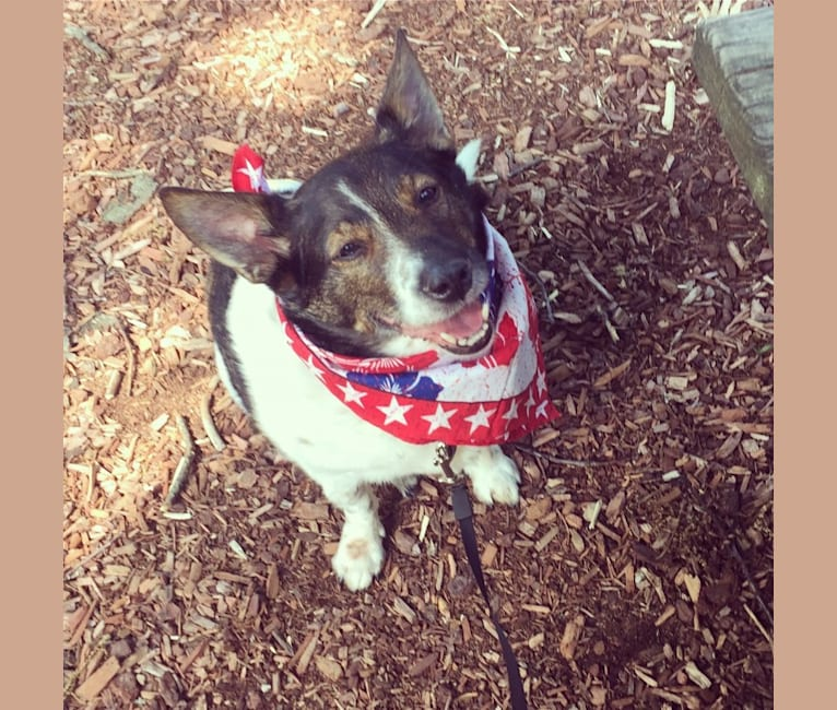 Photo of Captain, a Rat Terrier, Australian Cattle Dog, Russell-type Terrier, Shih Tzu, and Mixed mix in Fitchburg, Massachusetts, USA