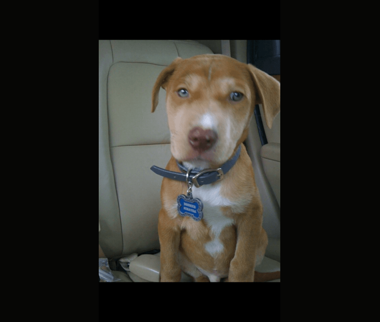 Photo of Boomer, an American Pit Bull Terrier, Treeing Walker Coonhound, and American Staffordshire Terrier mix in Tennessee, USA