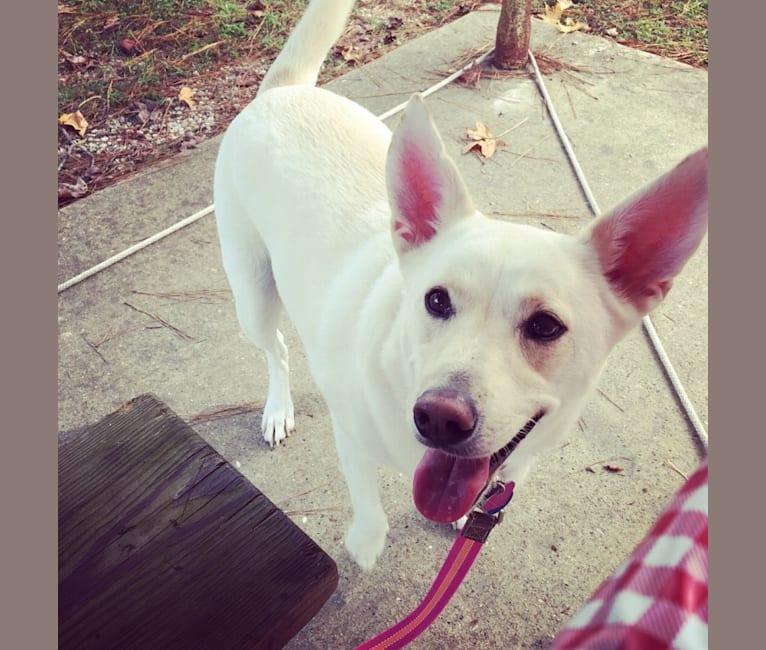 Photo of White Daisy, a Miniature Schnauzer, American Eskimo Dog, Australian Cattle Dog, Labrador Retriever, and Alaskan Malamute mix in Houston, Texas, USA