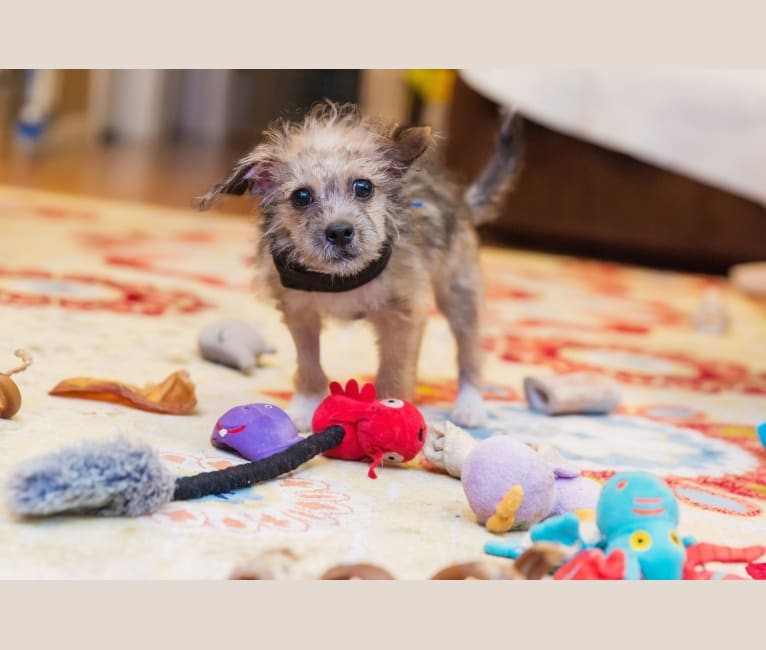Photo of Bernie, a Chihuahua, Poodle (Small), Pomeranian, and Mixed mix in Burnsville, Minnesota, USA