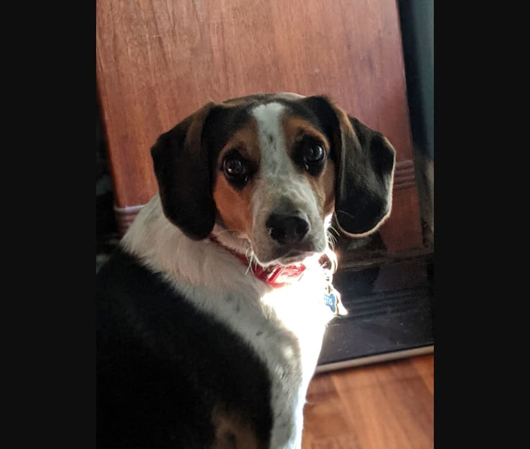 Photo of Otis, a Beagle  in Cincinnati, Ohio, USA