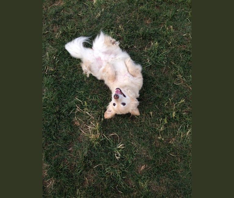 Photo of Hiroshi Katsu Matlock, a Poodle (Small), Chihuahua, and American Eskimo Dog mix in Pleasanton, California, USA