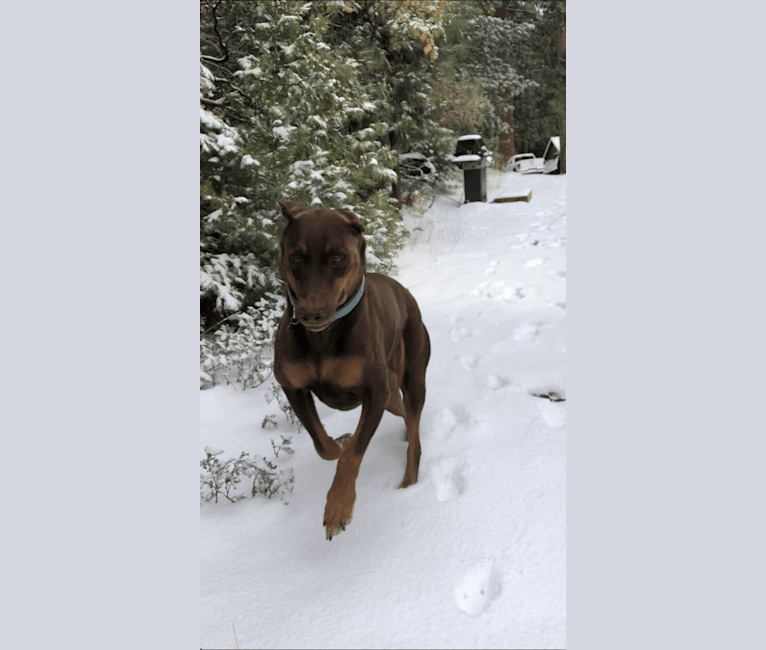 Photo of Vlade, a Doberman Pinscher, Labrador Retriever, German Shorthaired Pointer, and Rottweiler mix in Alpena, Michigan, USA