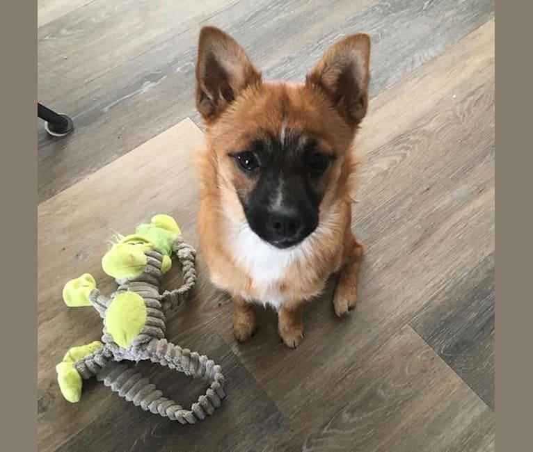 Photo of Rizzo, a Pembroke Welsh Corgi, Schipperke, Yorkshire Terrier, Pomeranian, Brussels Griffon, and Pug mix in Reno, Nevada, USA