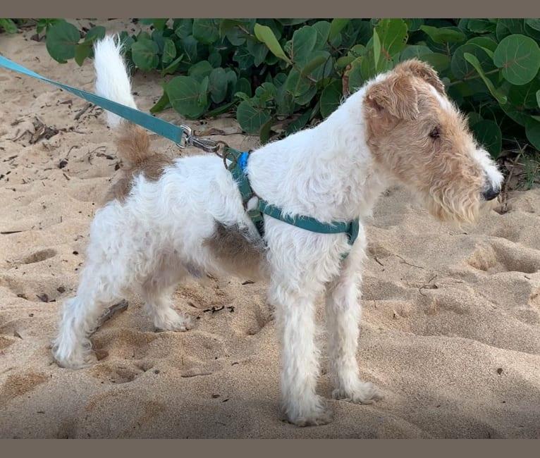 Photo of Paumalu Stretchy Stretch, a Wire Fox Terrier  in Sunset Beach, Kamehameha Highway, Pupukea, HI, USA