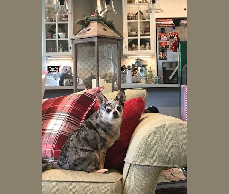 Photo of Wyatt, a Chihuahua  in Yorba Linda, CA, USA