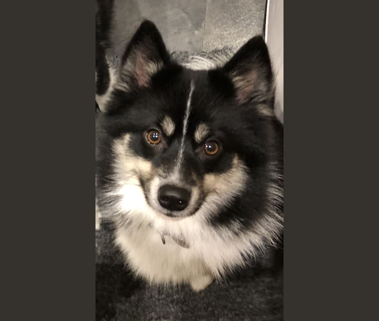Photo of Jett, a Pomsky