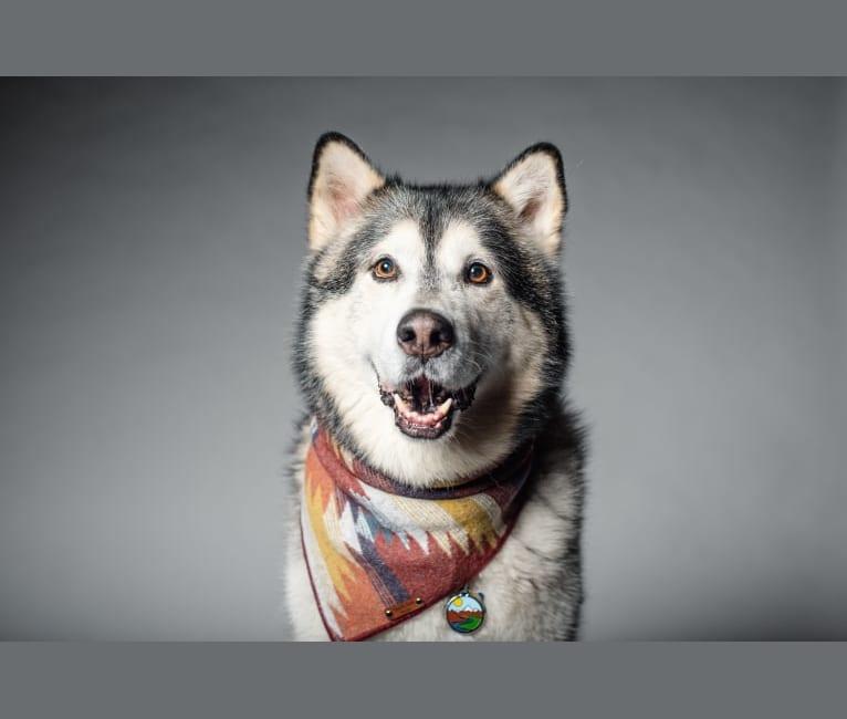 Photo of Walker, an Alaskan Malamute  in Louisiana, USA