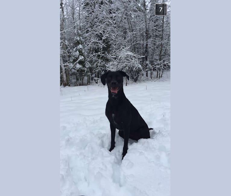 Photo of Adrian, a Weimaraner, Australian Cattle Dog, and Rottweiler mix in Duluth, Minnesota, USA