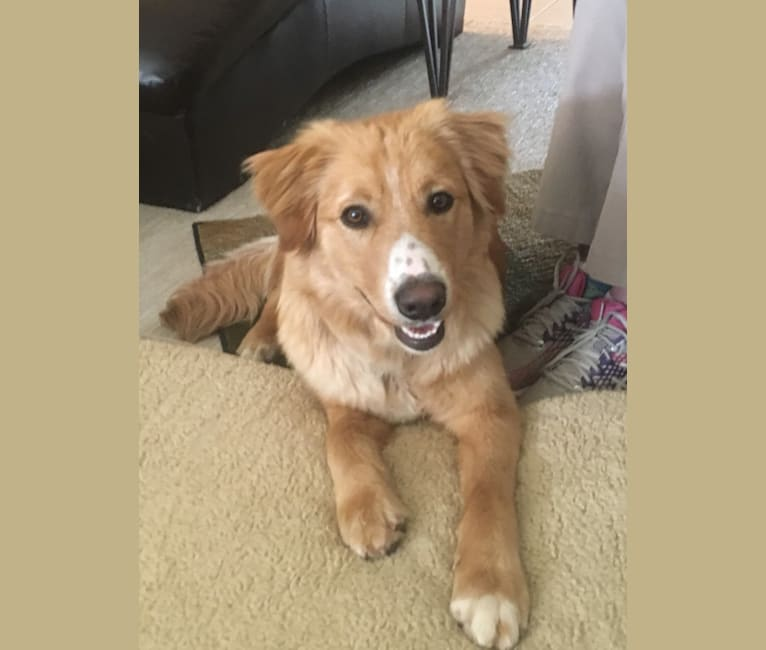 Photo of Rusty, a Border Collie, Australian Shepherd, Golden Retriever, Chow Chow, and Australian Cattle Dog mix in Toquerville, Utah, USA