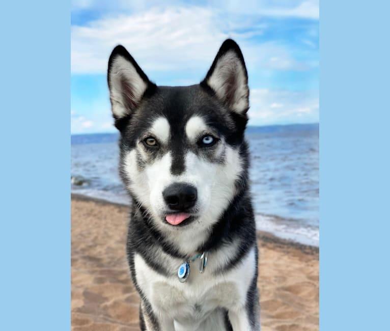 "Photo of Avatar's Polar Legend ""Naga"", a Siberian Husky, Labrador Retriever, and Alaskan Malamute mix in Minnesota, USA"