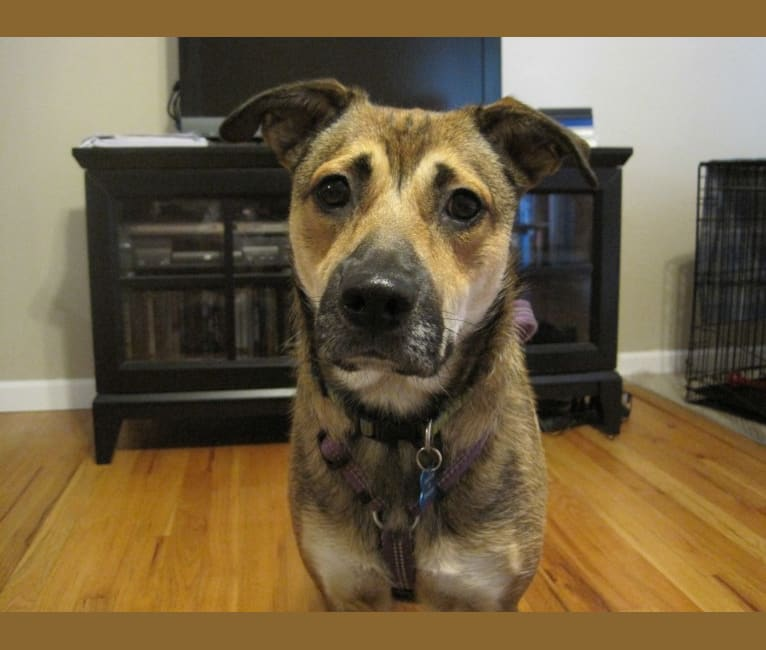 Photo of Sadie, a Rottweiler, American Eskimo Dog, Boston Terrier, Boxer, and Mixed mix