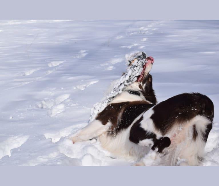 Photo of Tate, an Australian Shepherd Group  in Vanderbilt, PA, USA
