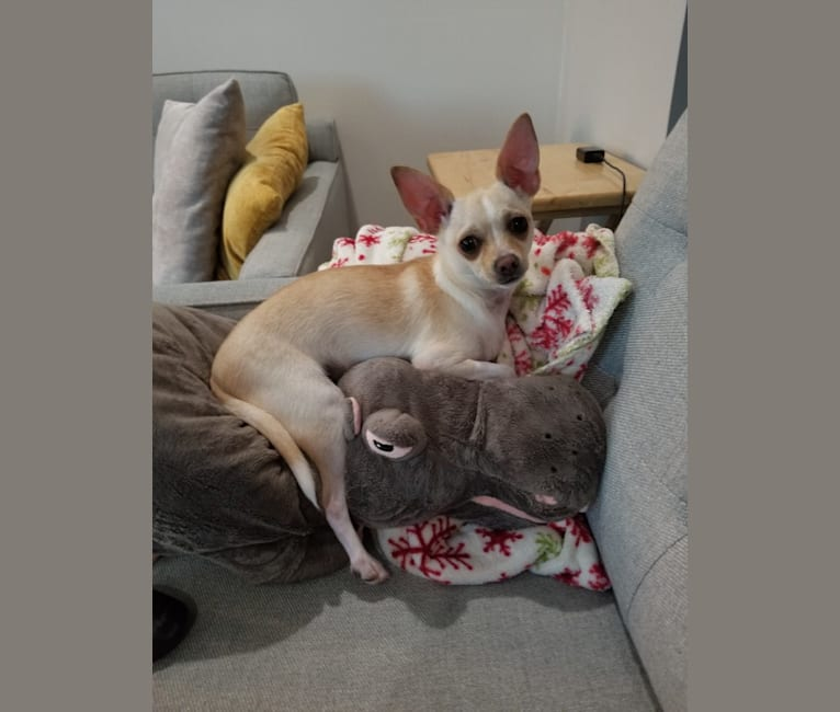 Photo of Maxx, a Chihuahua and Mixed mix in Georgia, USA