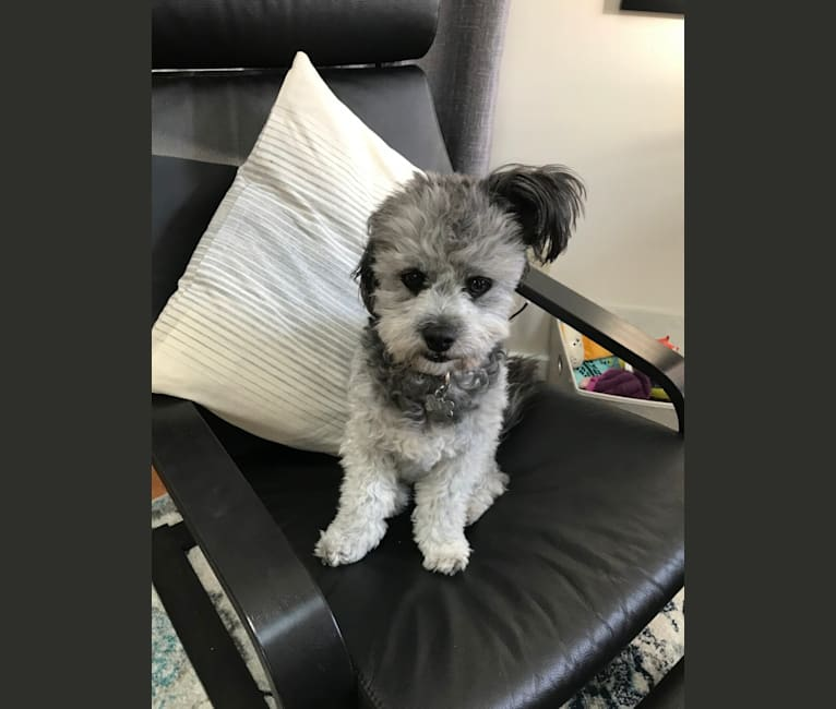 Photo of Newbie, a Poodle (Small), Chihuahua, Shih Tzu, and Mixed mix