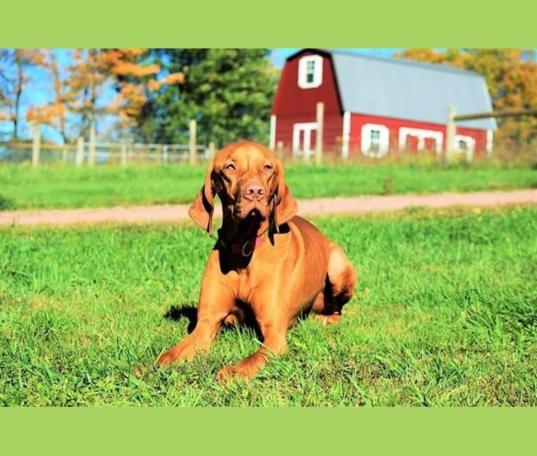Photo of Deacon, a Vizsla  in Pennsylvania, USA