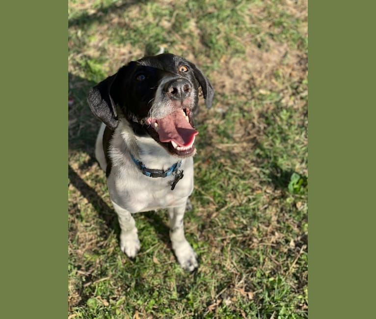 Photo of Archie, a Beagle, Australian Cattle Dog, Chow Chow, Dachshund, and Mixed mix in Missouri, USA