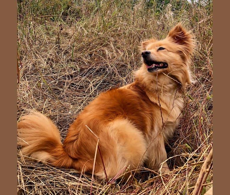 Photo of Obi, a Pomeranian, Chihuahua, Golden Retriever, and Mixed mix in California, USA