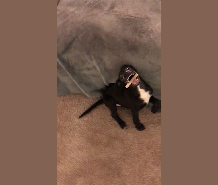 Photo of Robbie, a Boston Terrier, Labrador Retriever, Boxer, and Shih Tzu mix
