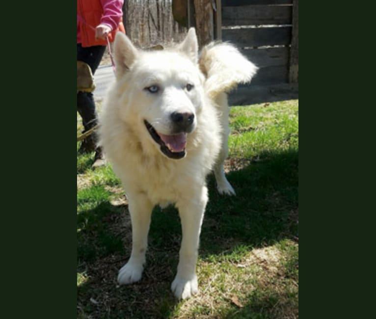 Photo of Kodiak, a Siberian Husky, Alaskan Malamute, Pomeranian, and Pug mix in New York, New York, USA