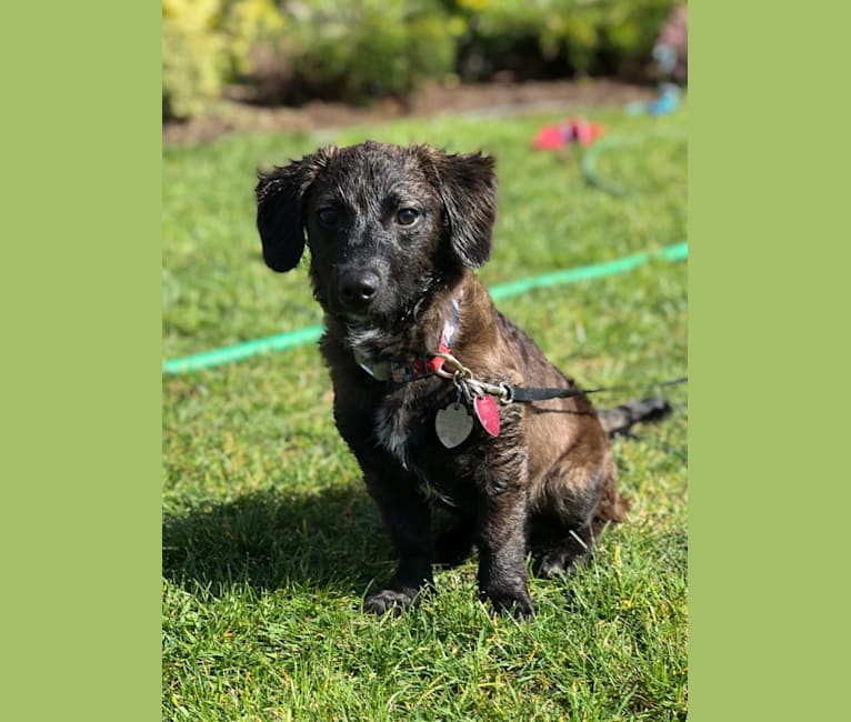 Photo of Thor, a Dachshund, Chihuahua, Poodle (Small), Pomeranian, Bichon Frise, and Maltese mix in Tacoma, Washington, USA