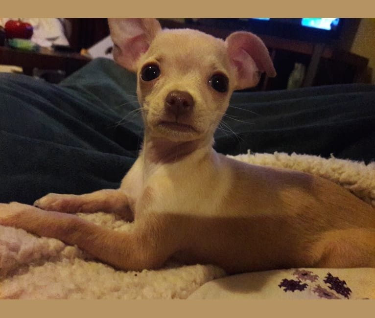 Photo of Bambi, a Chihuahua, Poodle (Small), and Mixed mix in Greenwood, AR, USA