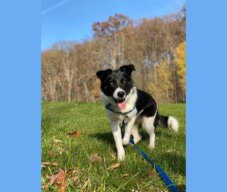 Photo of Sully, an Australian Shepherd, Norwegian Elkhound, Great Pyrenees, and American Foxhound mix in Kentucky, USA
