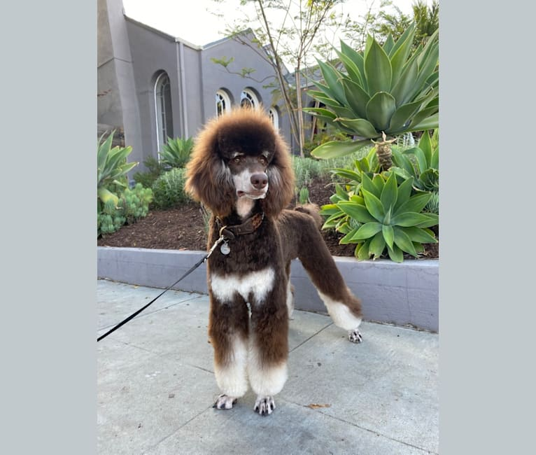 Photo of Riggs, a Poodle (Standard)  in Las Vegas, NV, USA