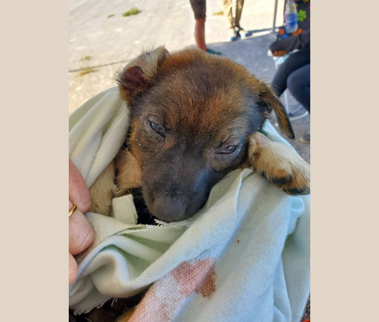 Photo of Chante, an American Village Dog  in Freeport, Freeport, The Bahamas