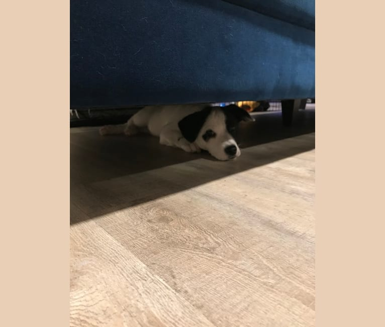 Photo of Frank, a Chihuahua, Australian Cattle Dog, Pomeranian, Siberian Husky, and Mixed mix in San Jose, California, USA