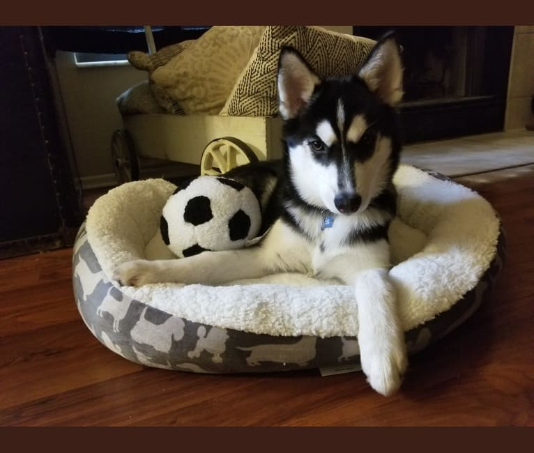 Photo of Kira, a Siberian Husky  in Lakeland, FL, USA