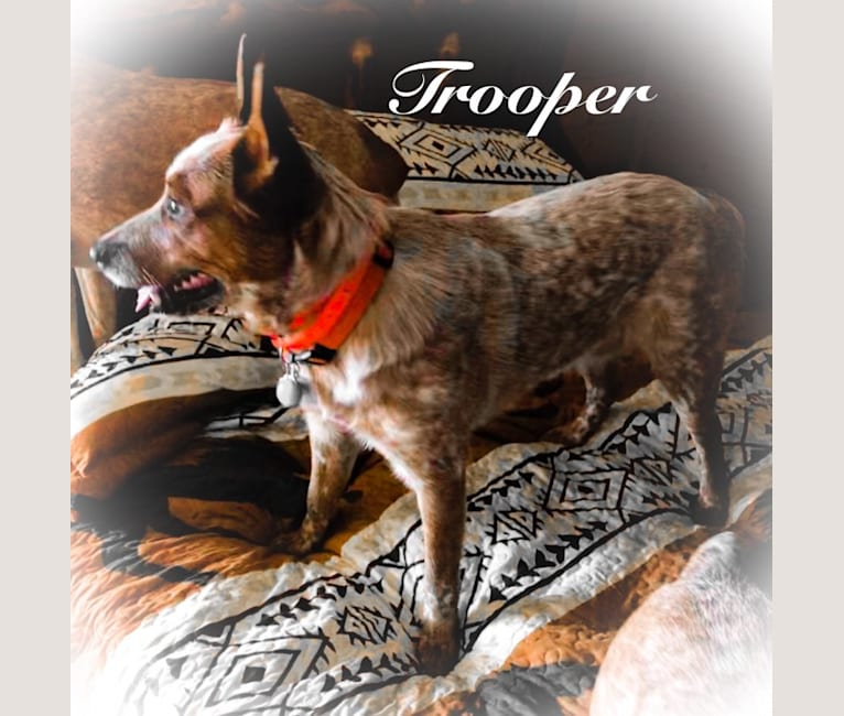 Photo of Trooper, an Australian Cattle Dog  in Evans, Louisiana, USA