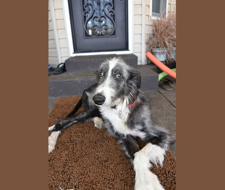 Photo of Auggie, a Greyhound and Scottish Deerhound mix in Greensburg, Pennsylvania, USA
