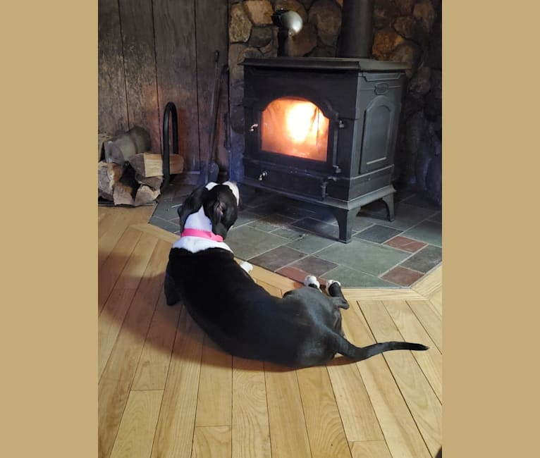 Photo of Donut, an American Bully  in Huntington, Massachusetts, USA