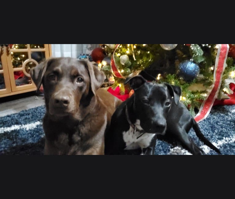 Photo of Lucy, an American Bully, Labrador Retriever, American Staffordshire Terrier, American Pit Bull Terrier, and German Shepherd Dog mix in Kansas, USA